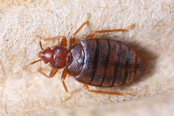 How do you get bed bug like this one?