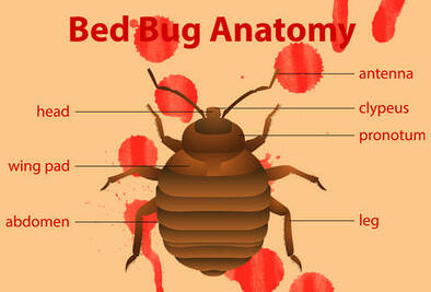 What do bed bug look like? The anatomy