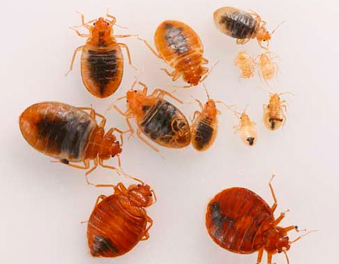 What do bed bug look like on different life stages?