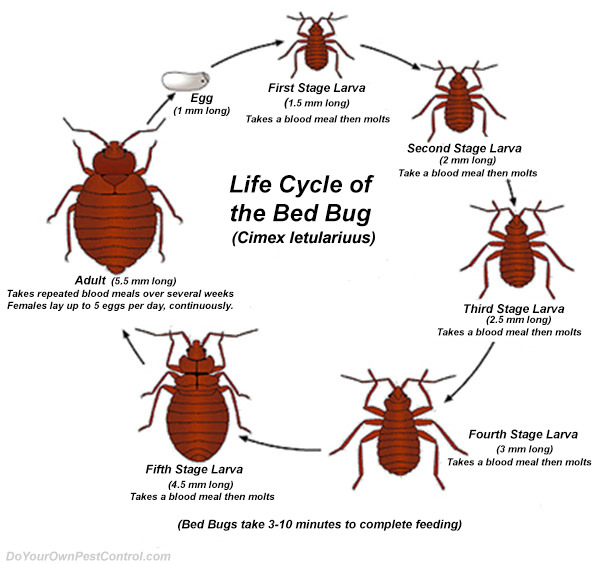 What do bed bug look like on the different stages of their life?