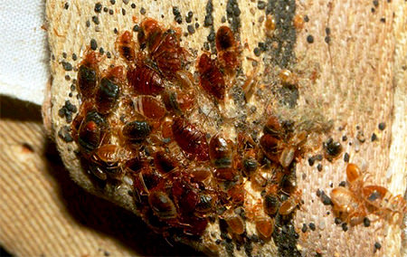 What do bed bug look like on furniture?