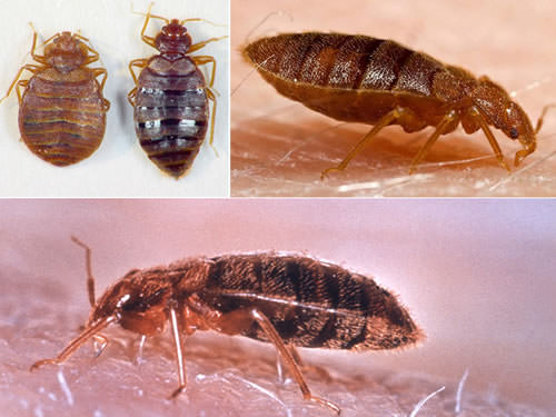 What do bed bug look like from different views?