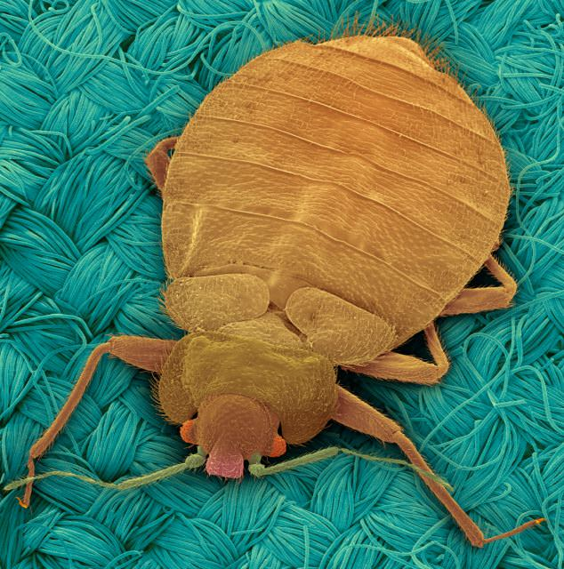 What to do if you have bed bugs?