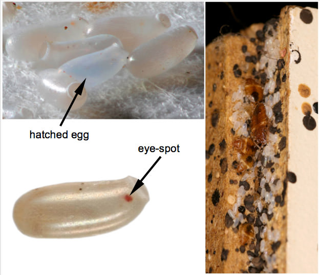 What do bed bug eggs look like?